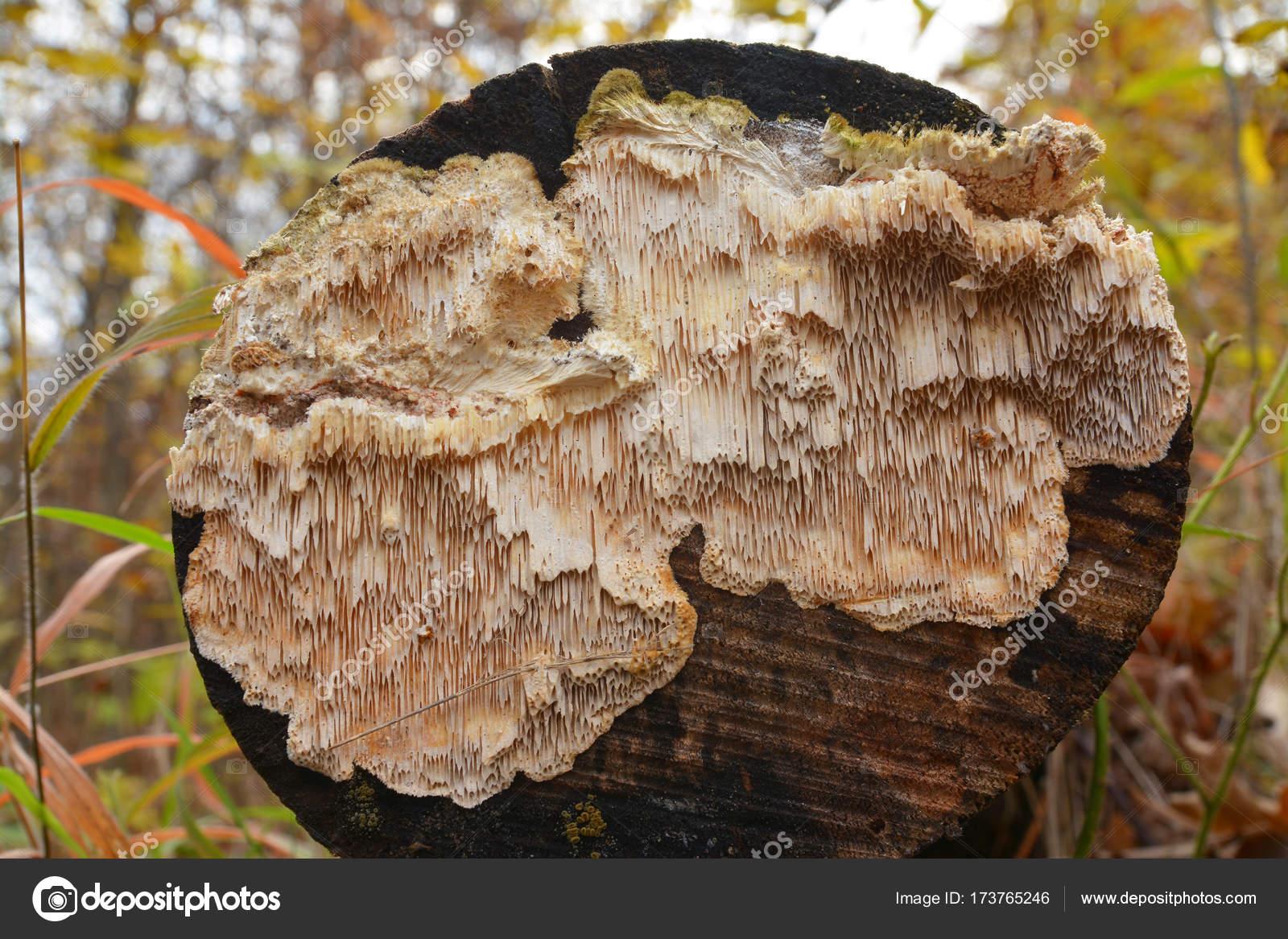 Сосудистый гриб на пеньке фото
