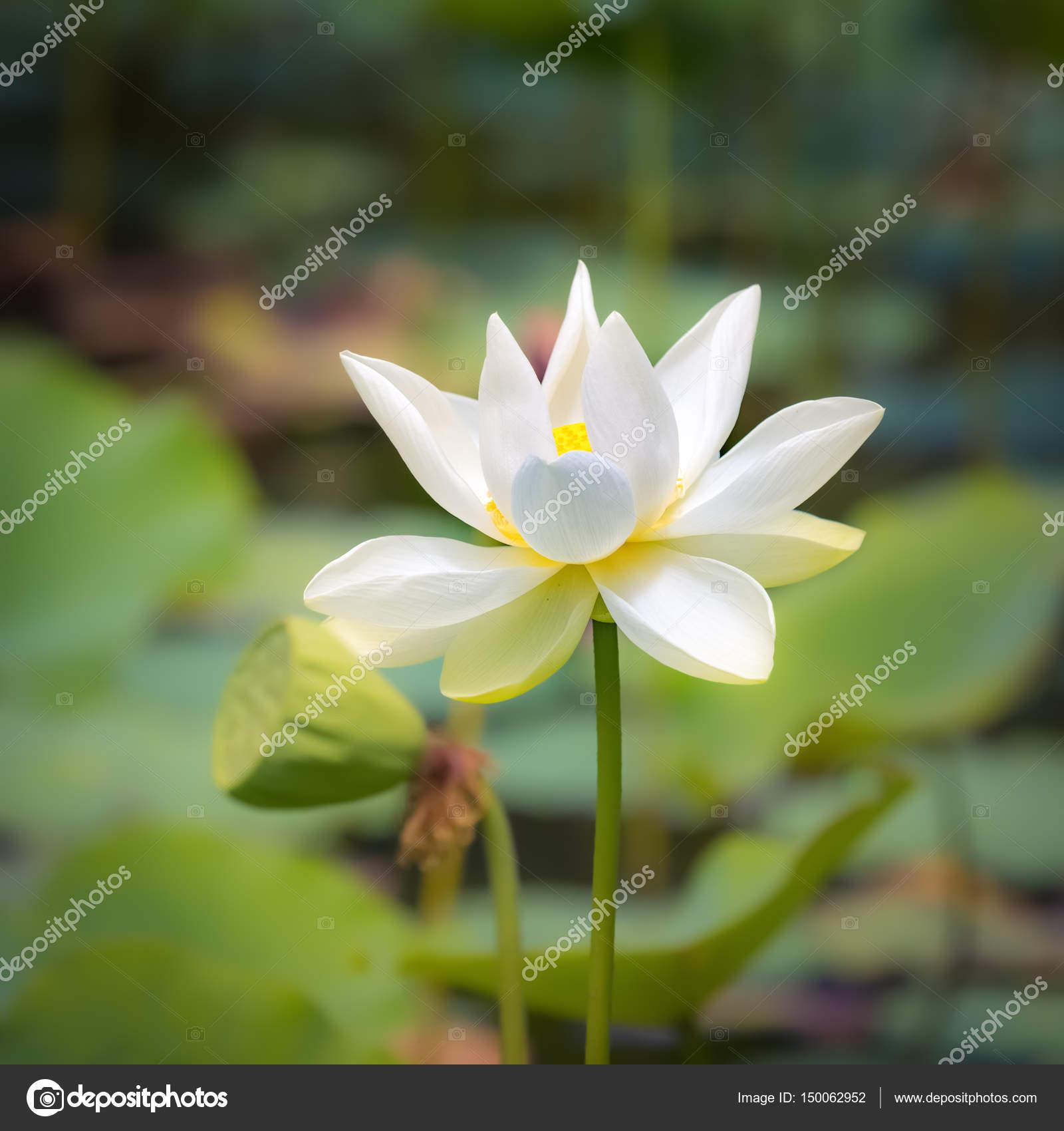 Closeup Lotus Flower Stock Photo Goodolga 150062952