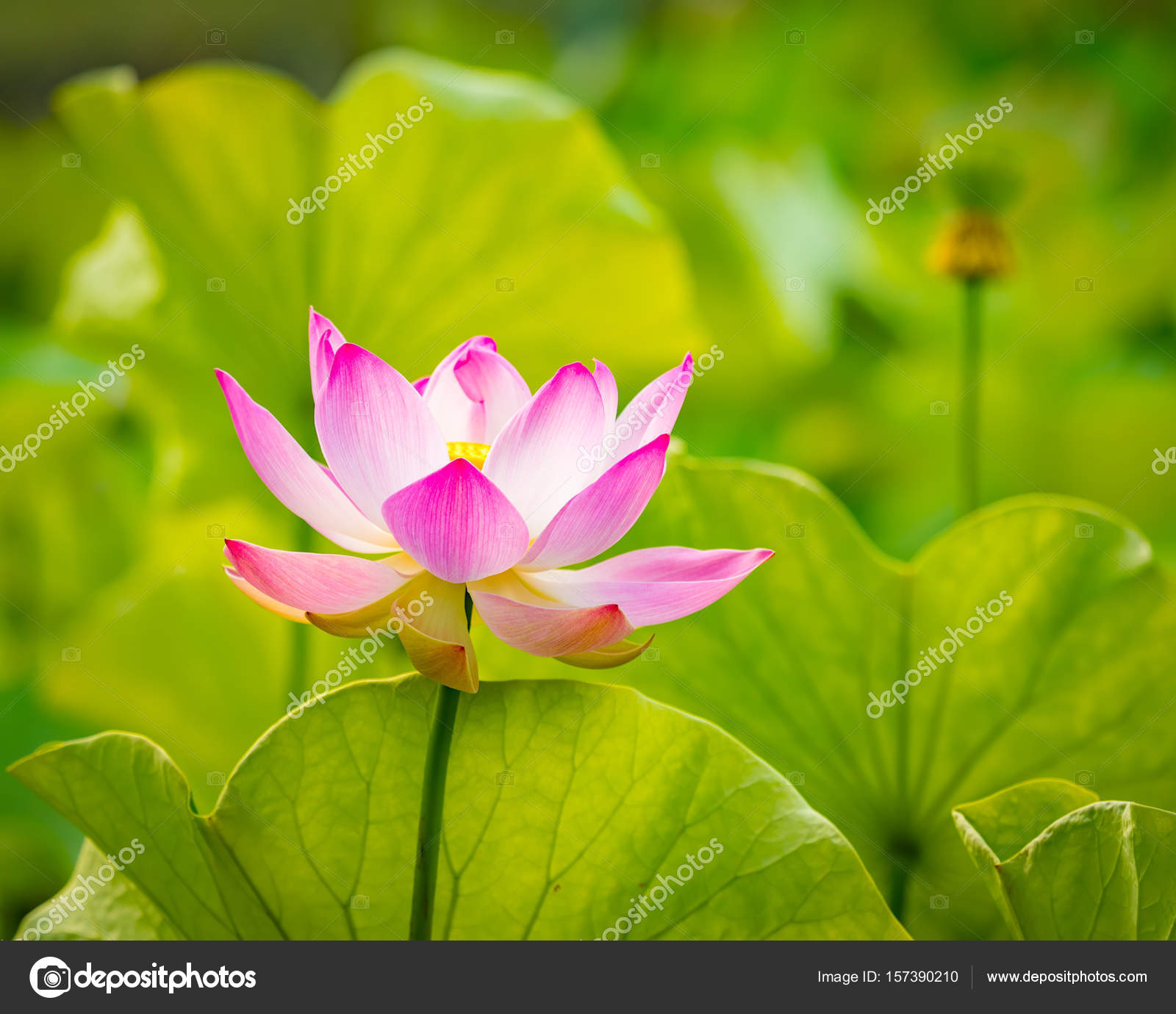 Closeup Lotus Flower Stock Photo Goodolga 157390210