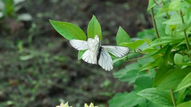 Aporia Anisi-fekete-erezett fehér pillangó-