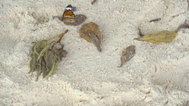 Monarch motýl na písečné pláži