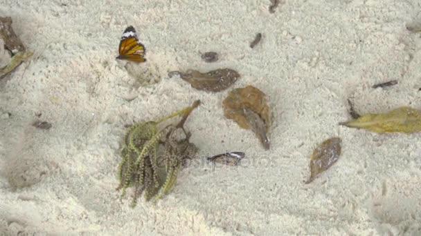 Monarch butterfly on sandy beach