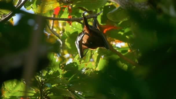 Flying Fox wäscht auf Baum