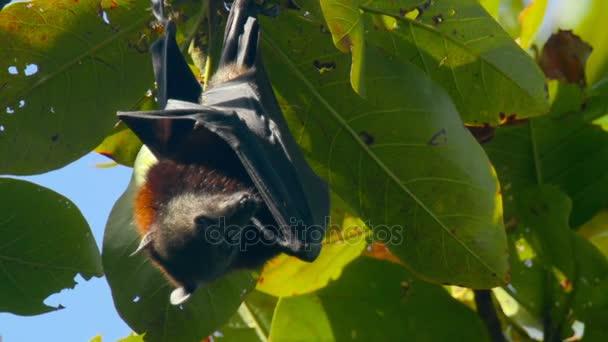 Flying Fox an einem Ast hängen und Abwasch