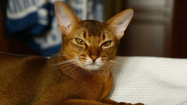 Roztomilý habešská kočka