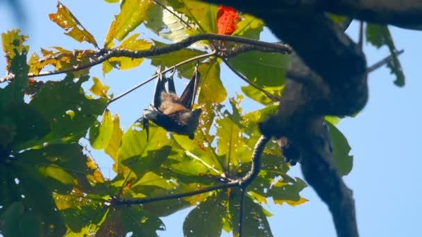 fliegende Füchse hängen an einem Ast und spülen, Zeitlupe