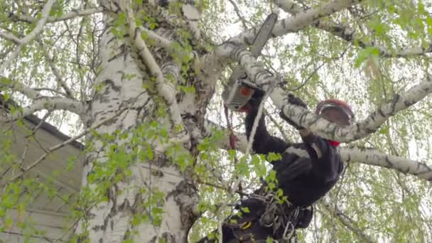 Arborist cutting branch of the birch
