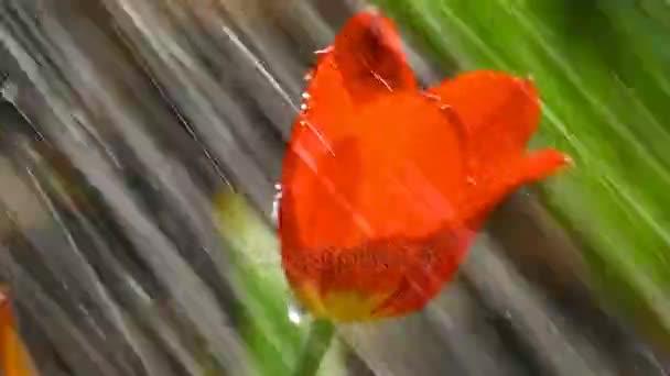 Červený Tulipán květ za deště