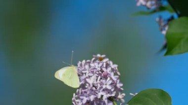 Butterfly, lila virágok fehér