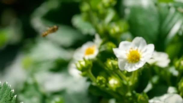 Méh-strawberry virágok