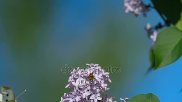 Bílý motýl na fialovými květy