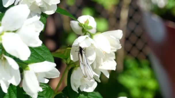 Black Veined White butterfly on Jasmine