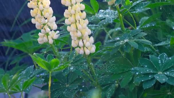 Lupina kvete pod letní déšť