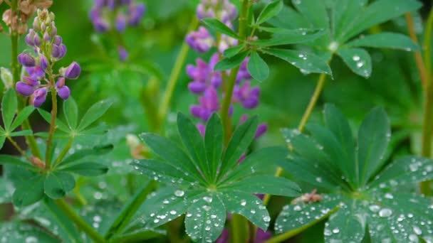 Csillagfürt virágzó nyári eső után