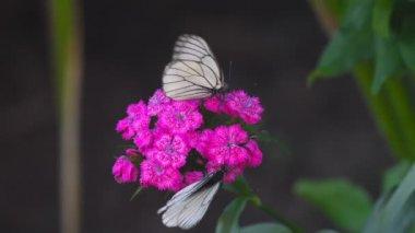 Fekete erezett fehér pillangó