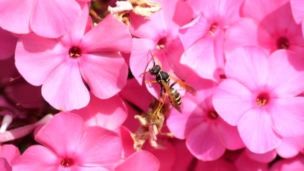 A virágok rózsaszín phlox darázs