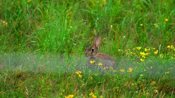 Hare in green grass, a rain shower