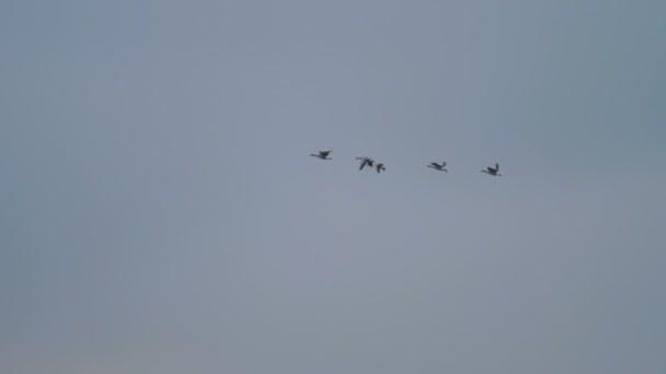 Hnízdiště husy létání