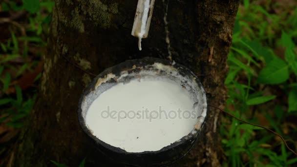 Milchlatex aus Gummibaum extrahiert
