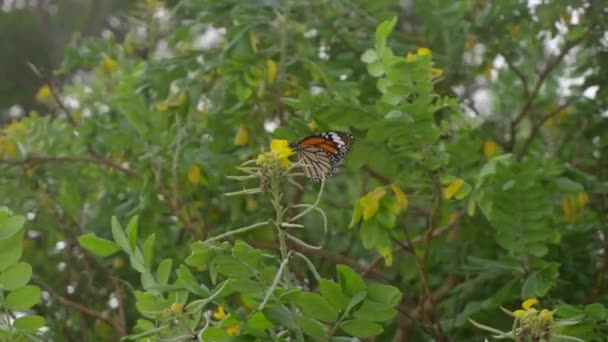 Monarch motýl letu