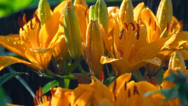Petals of orange lily under rain