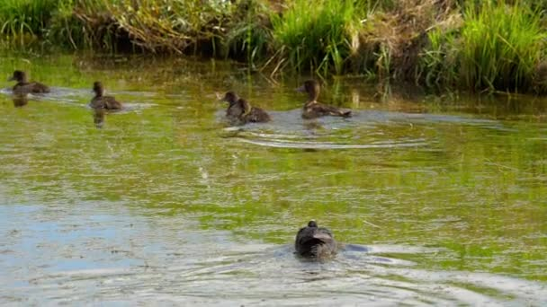 Coot attack mallard duck family