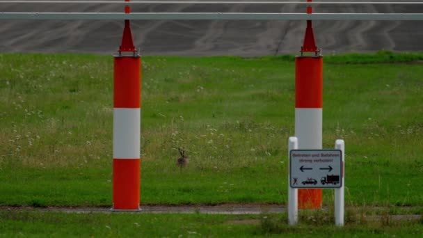 Hase in der Nähe von Start-und Landebahn des Flughafens Düsseldorf
