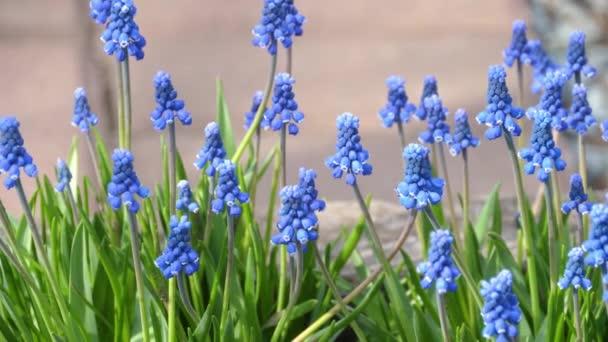 Květiny hroznového hyacintu, Muscari botryoides