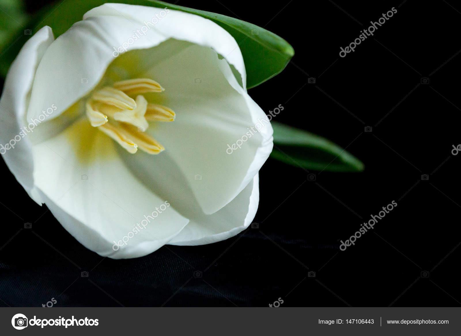One white flower on a black background stock photo haurashkoksu one white flower on a black background stock photo mightylinksfo