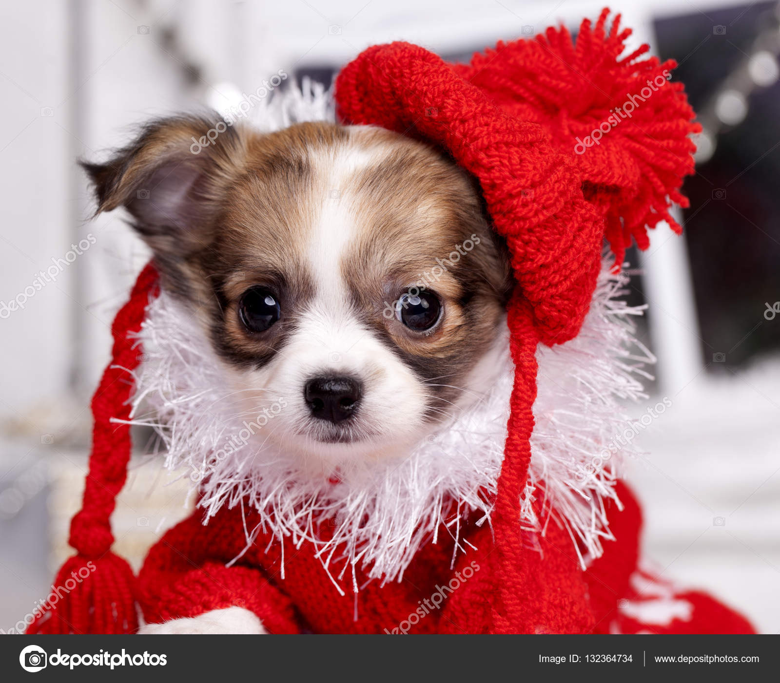 b597bcd3c8748 Chihuahua puppy wearing hat — Stock Photo © Lilun Li  132364734