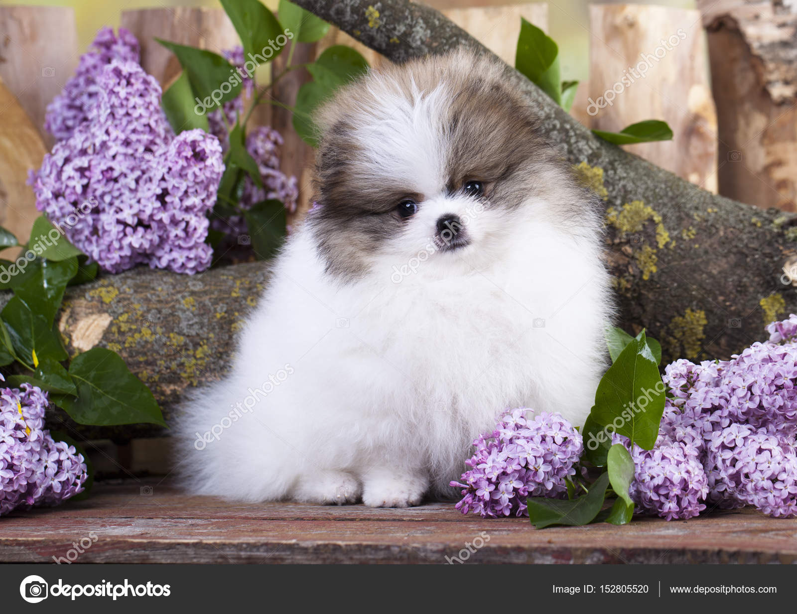 Simple Pomeranian Canine Adorable Dog - depositphotos_152805520-stock-photo-pomeranian-animal-breed-canine-cute  You Should Have_861486  .jpg