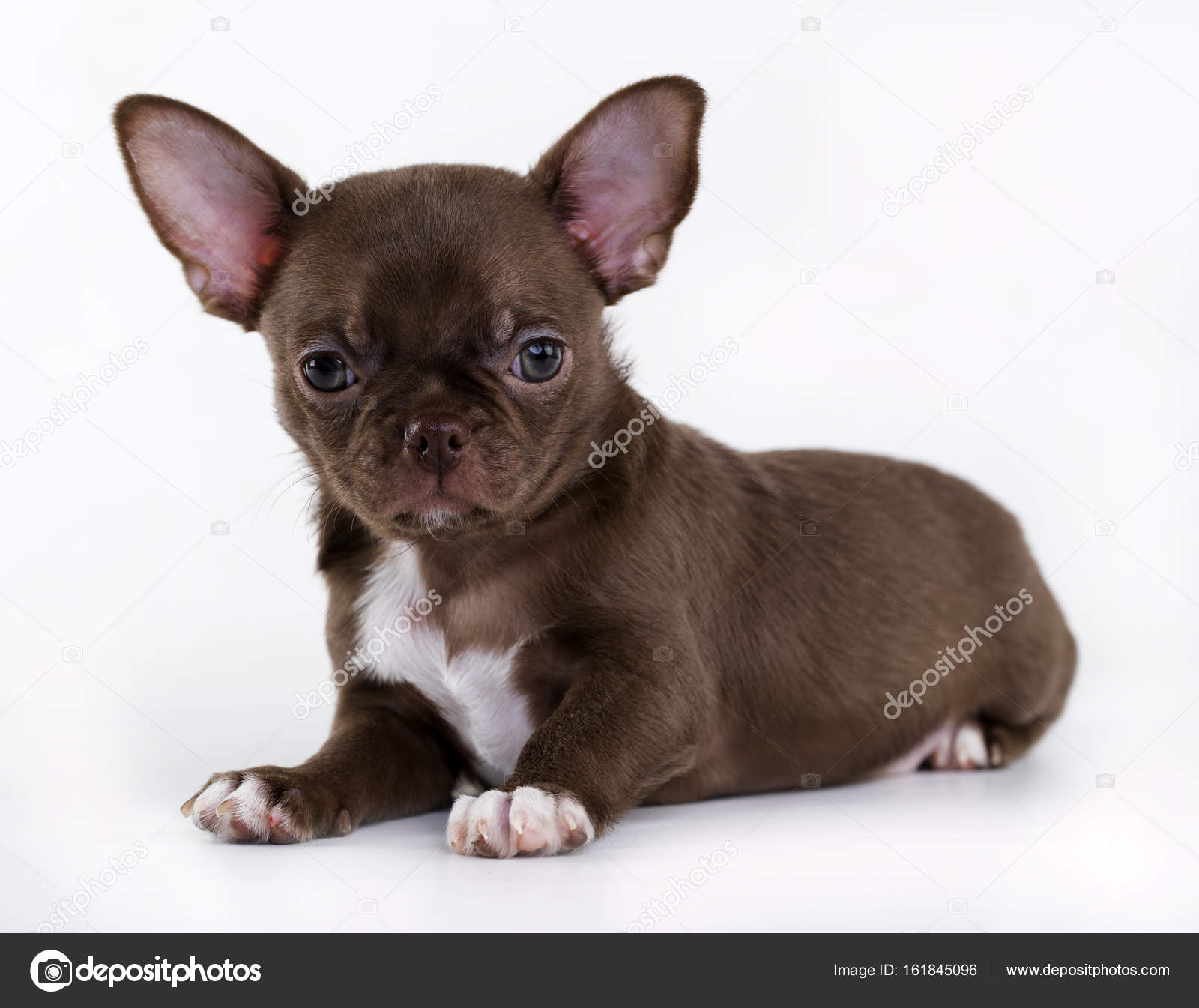 Brown And Tan Chihuahua Puppy Chihuahua Puppy Of Brown Color Stock Photo C Lilun Li 161845096