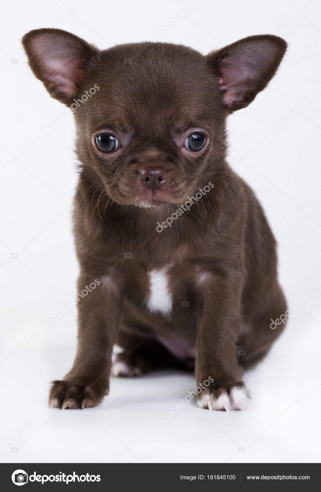 Brown Baby Chihuahuas Chihuahua Puppy Of Brown Color Stock Photo C Lilun Li 161845100