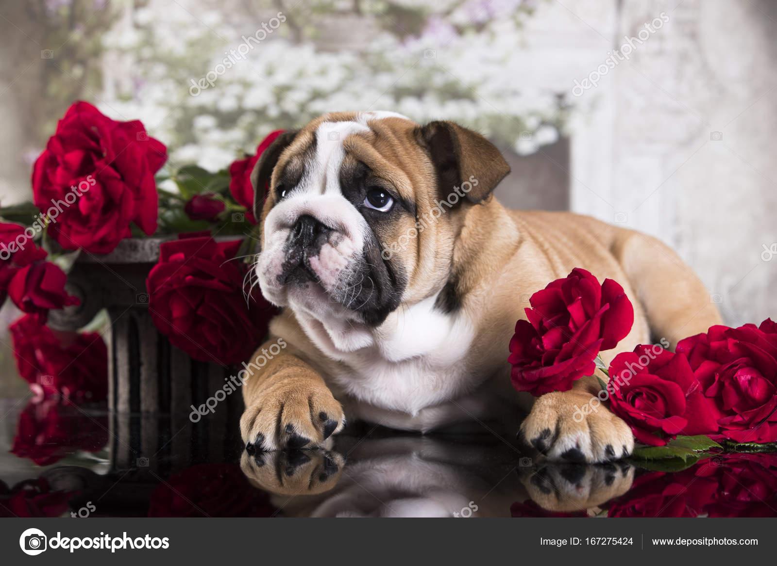 English Bulldog Puppy And Flowers Stock Photo C Lilun Li 167275424