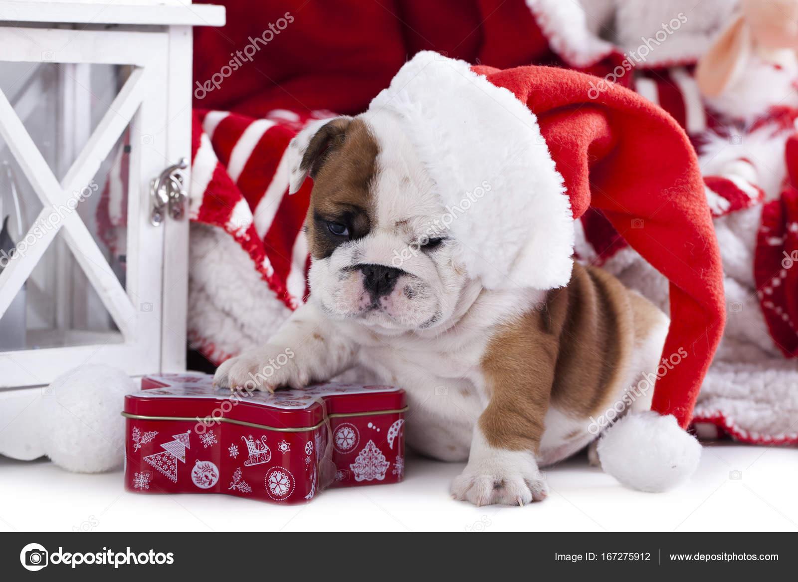 Weihnachten Englische Bulldogge Welpen Stockfoto Lilunli 167275912