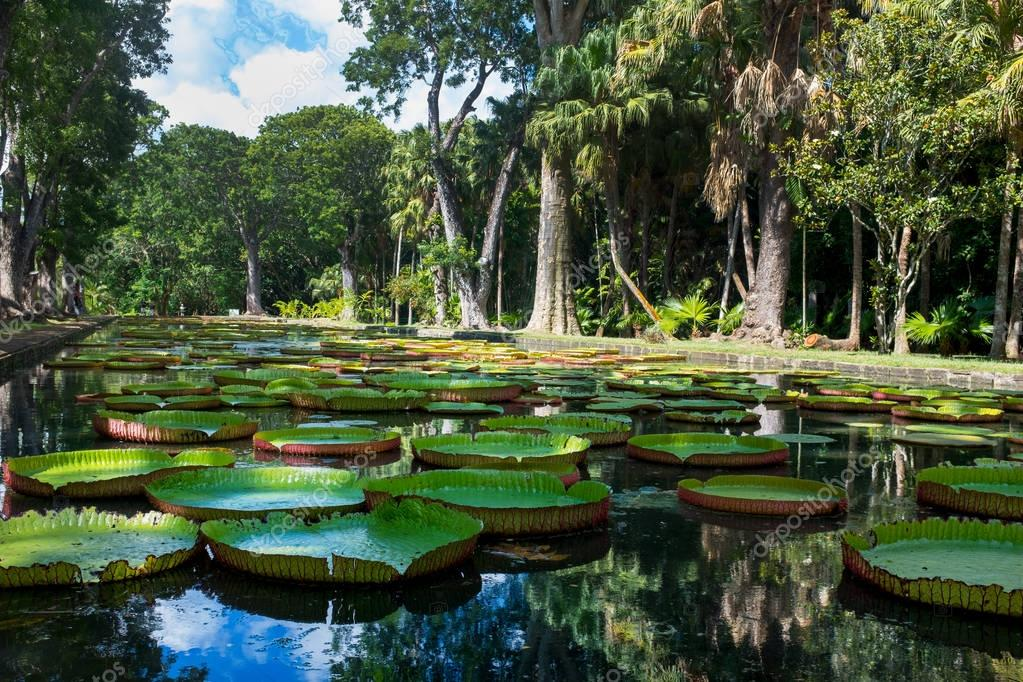 Giant water lillies