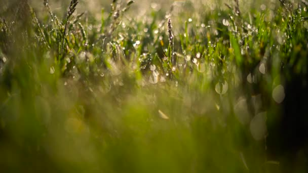 zelené trávy a kapky ranní Rosa