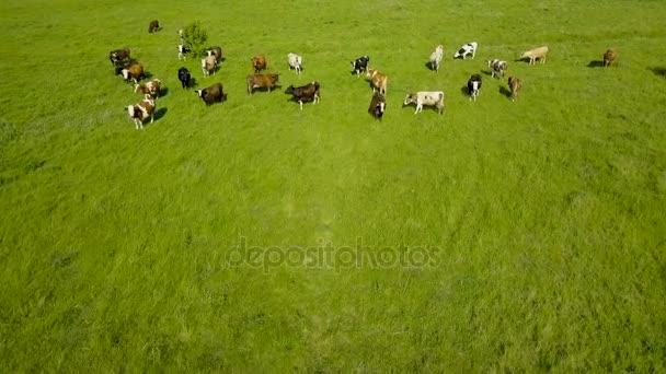 Repül át a zöld mező, legelő tehenek. Légi háttér ország táj