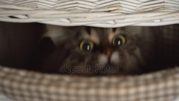 Mourovatá kočka vykukujících dřevěné koše