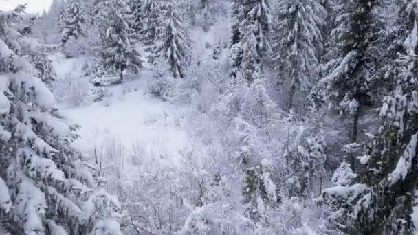 Let nad zasněžených horských jehličnatých lesů. Jasné mrazivé počasí