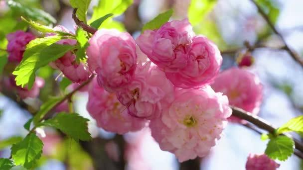 Větev růžové kvetoucí sakury se houpe ve větru proti obloze