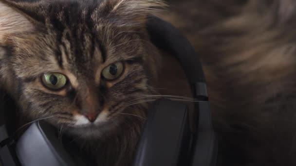 Cute tabby domestic cat in headphones listens to music. Funny video
