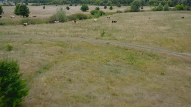 Flying over a yellowed meadow with grazing cows.