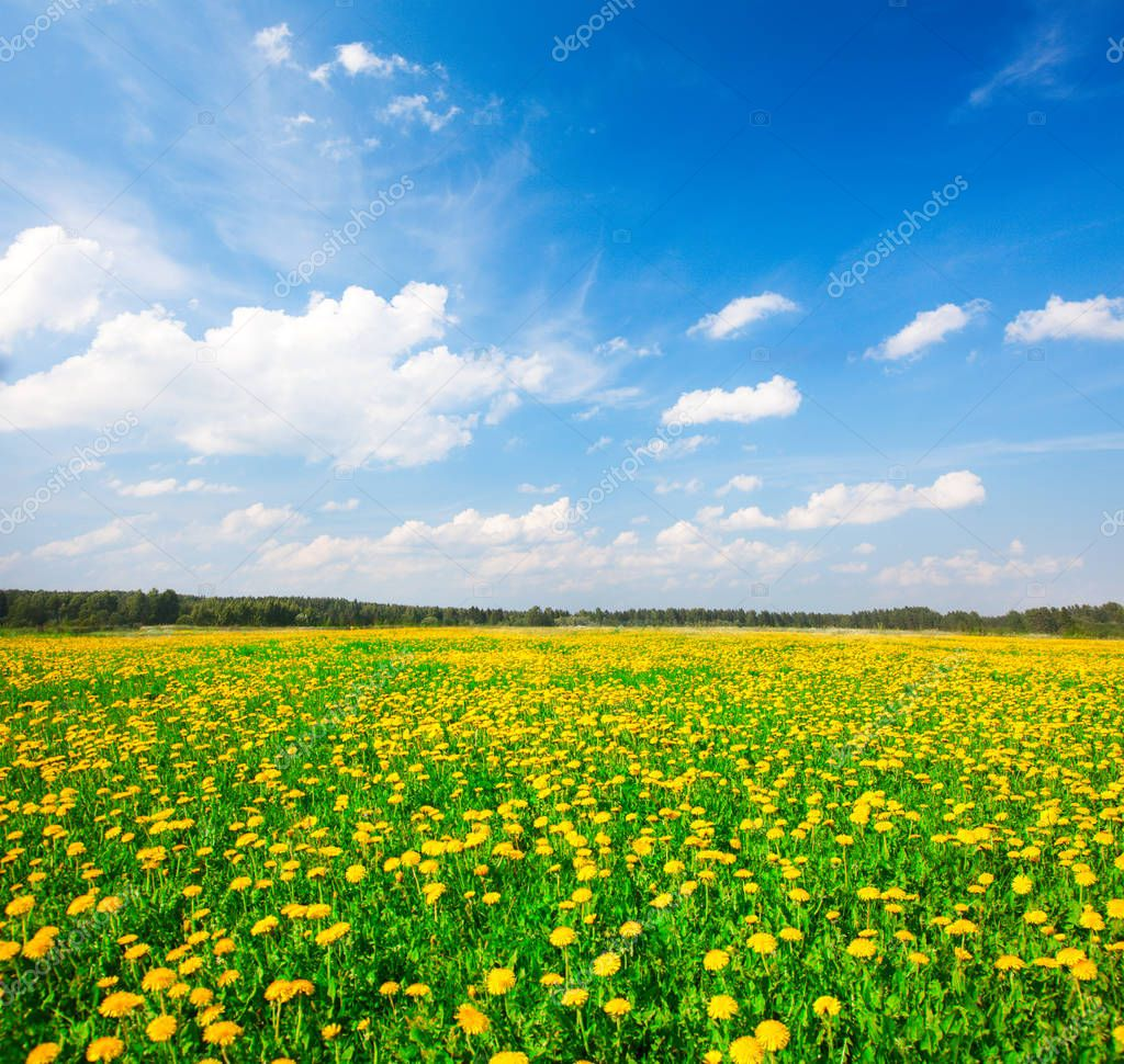 yellow flowers field under blue sky at summer