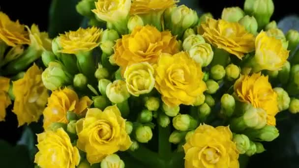 Yellow kalanchoe flower growing4k time-lapse