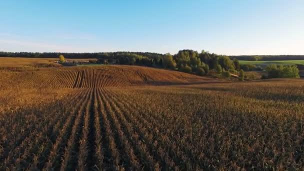4 k. repülés arany napnyugtakor, érett kukorica-mező feletti légi panoráma