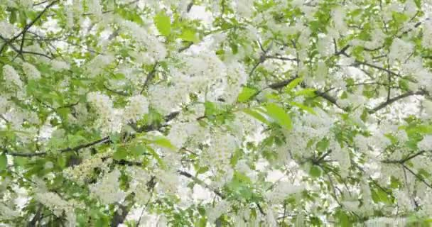 Fiori bianchi e foglie verdi una ciliegia di uccello. Ciliegia di uccello cespugli che ondeggiano al vento. I raggi del sole fanno strada attraverso le foglie di prugno. Sfondo naturale
