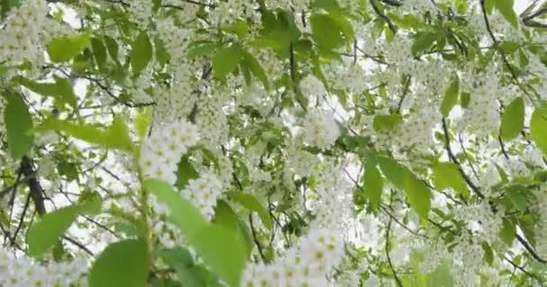 Bílé květiny a zelené listy třešeň ptačí. Třešeň ptačí keře ve větru. Akumulující paprsky slunce a aby jejich cestu přes listí třešeň ptačí. Přírodní pozadí