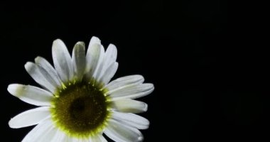 Single white chamomile flowers. Close up of single chamomileBlack background.Concept of nature.Concept of springtime.