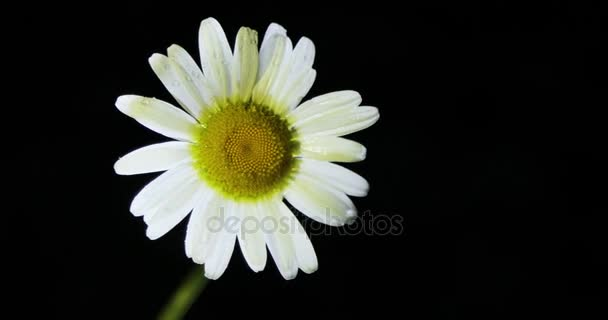 Single white chamomile flowers. Close up of single chamomileBlack background.Concept of nature.Concept of springtime.